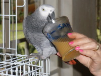 African grey parrot Sam cooling off with a drink