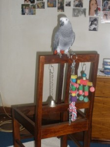 African Grey Parrot Pedro and his Home made bird toy