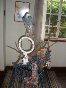 African Grey Parrot Pedro On Play Gym