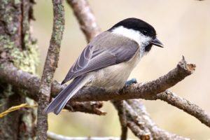 wild bird singing
