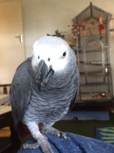 Sam the African Grey Parrot